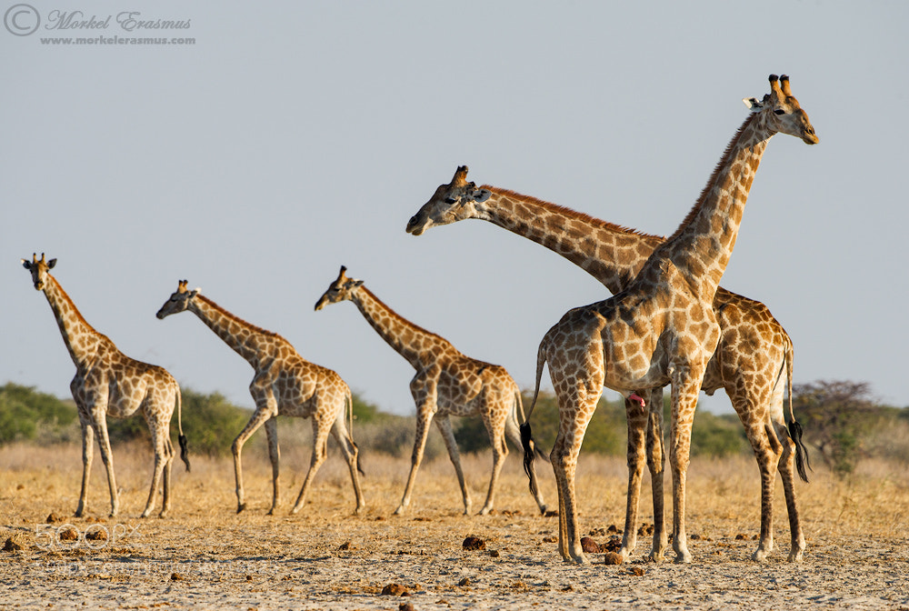 Photograph Just Some Giraffes by Morkel Erasmus on 500px