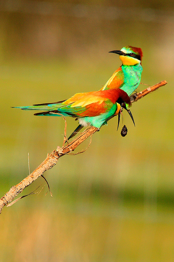 Photograph Bee-eaters by Andrés López on 500px