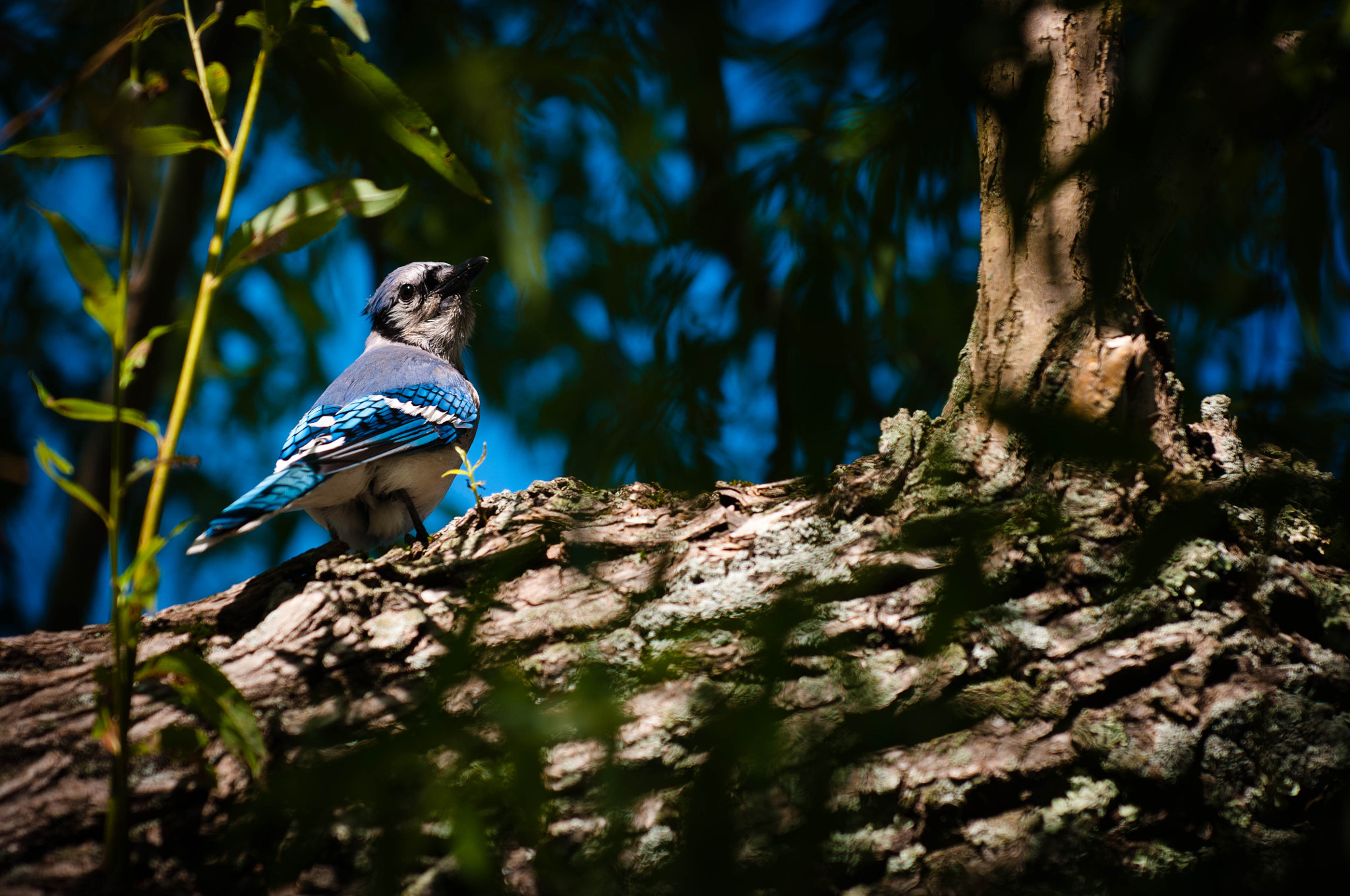 Photograph Blue Jay by OastinLive on 500px