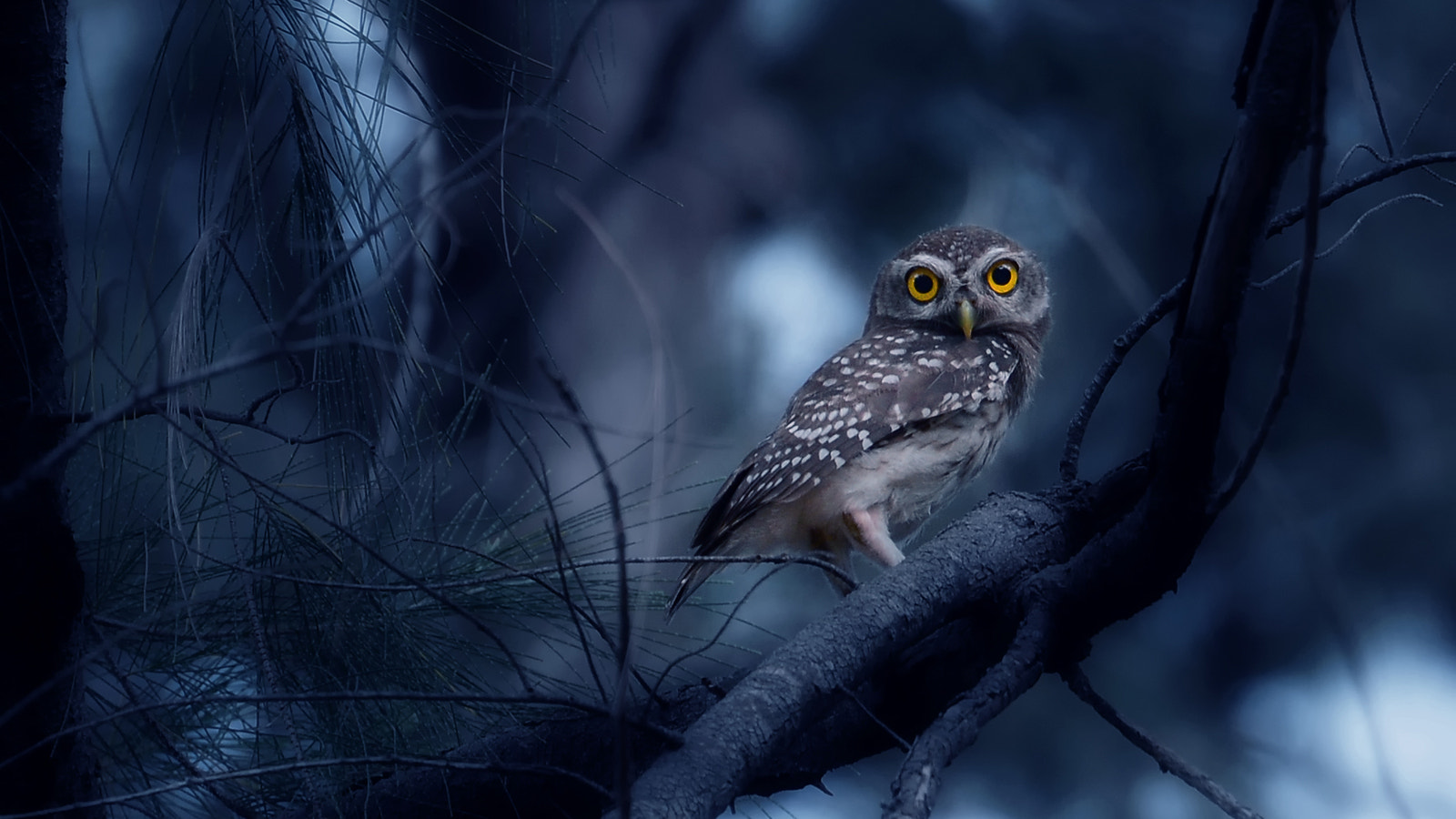 Photograph Spotted Owl  by Auttapon Nunti on 500px