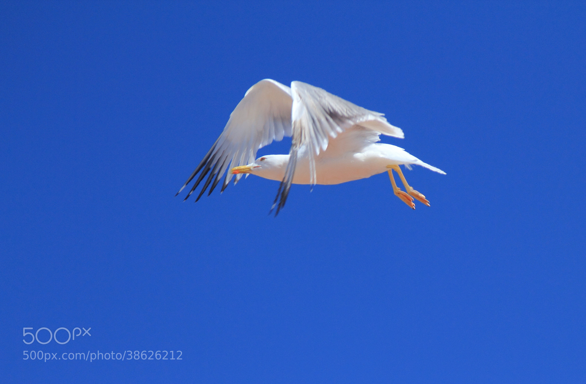 Photograph Flying European Herring Gull by Eva Lechner on 500px