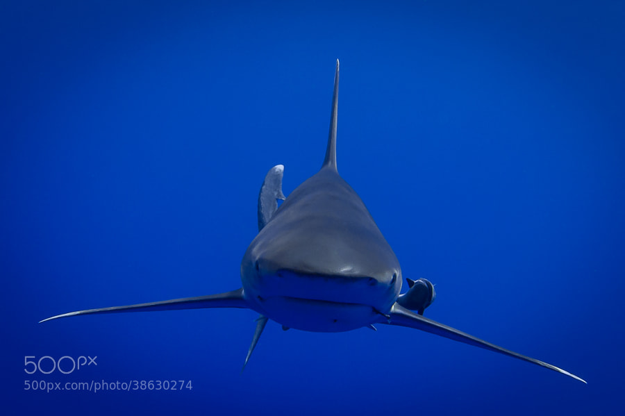 Photograph Shark in the Blue by Thomas Conrad (T.C.) on 500px