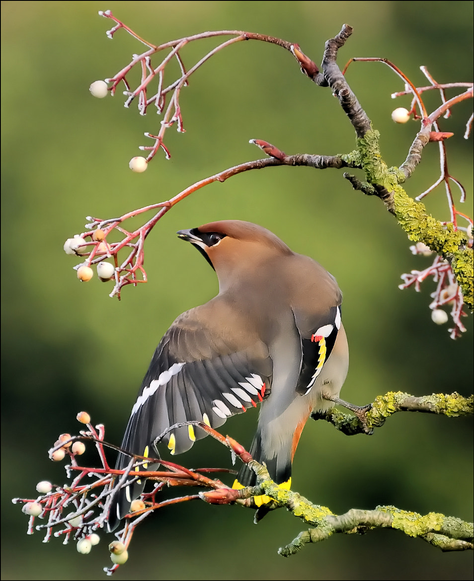 Photograph Waxwing by bri curtis on 500px