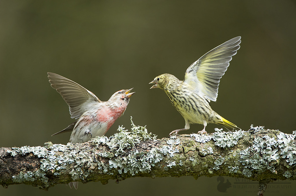 Photograph Redpoll and Siskin Fighting by Will Nicholls on 500px