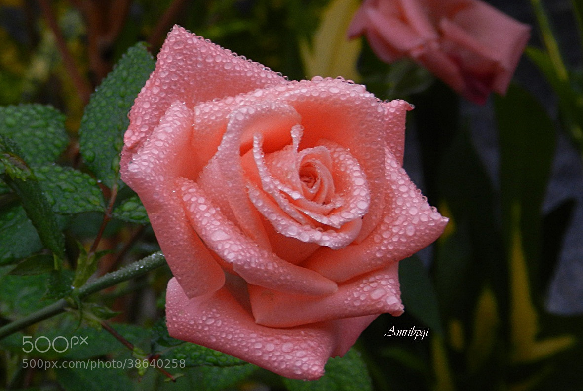 Photograph Rose by Lety Monteiro on 500px