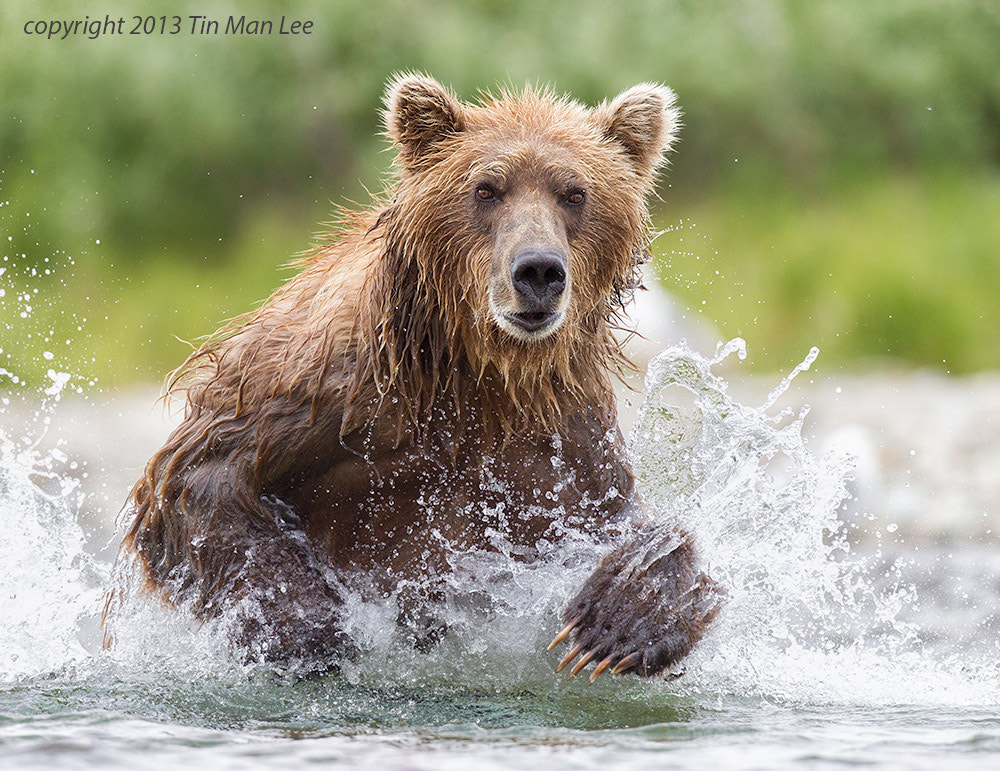 Photograph Bear Running by Tin Man on 500px