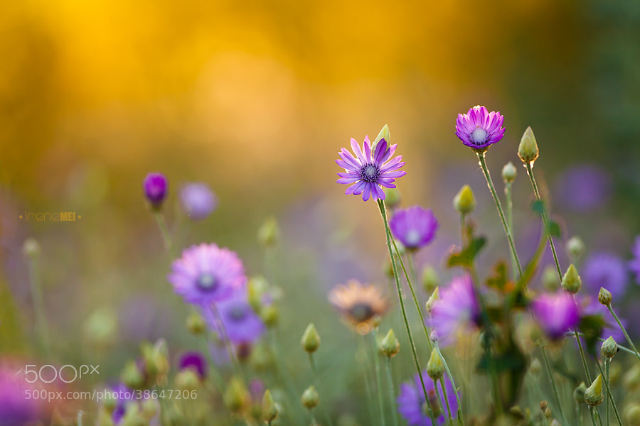 Photograph Summer Gold by Irene Mei on 500px
