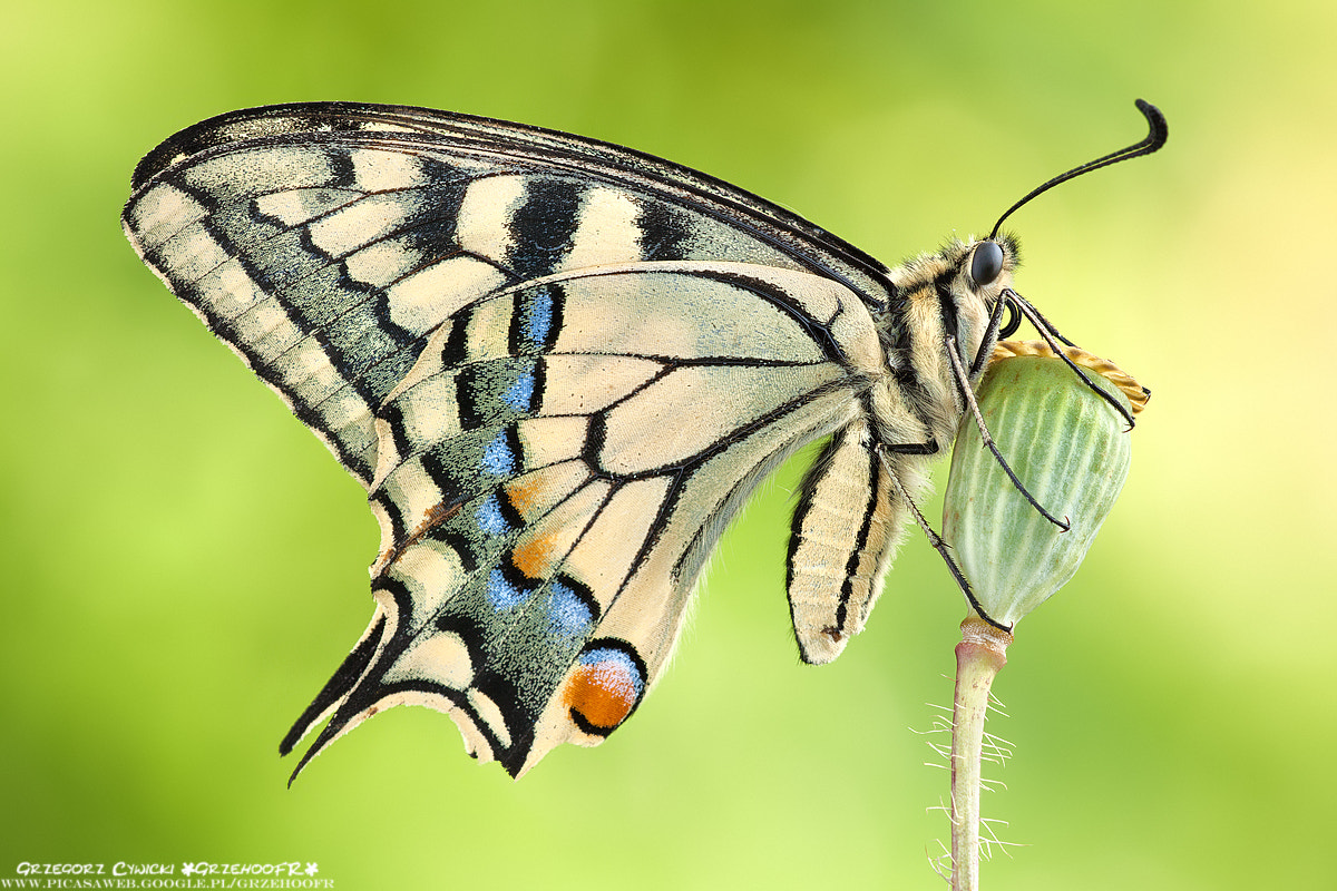 Photograph Papilio machaon by Grzegorz  Cywicki on 500px