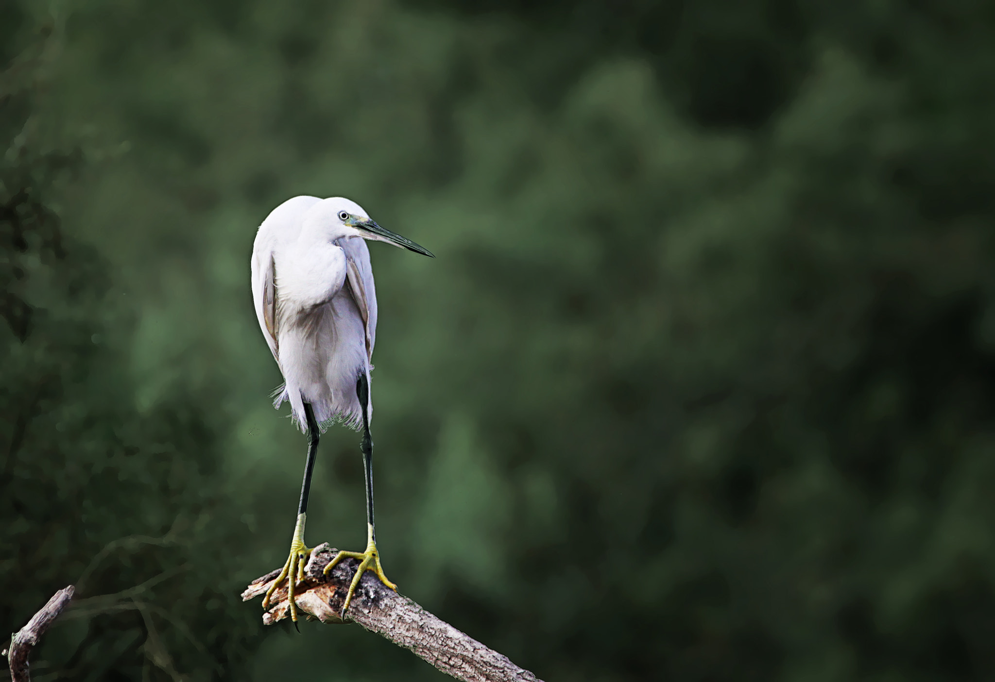 Photograph Egretta garzetta by  Michal De-porto on 500px