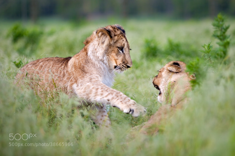 Photograph Playful battle (Panthera leo) by Ales Gola on 500px