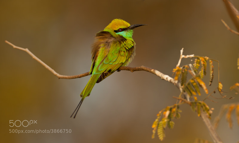 Photograph Green Bee-eater by Nagendra Kolluru on 500px