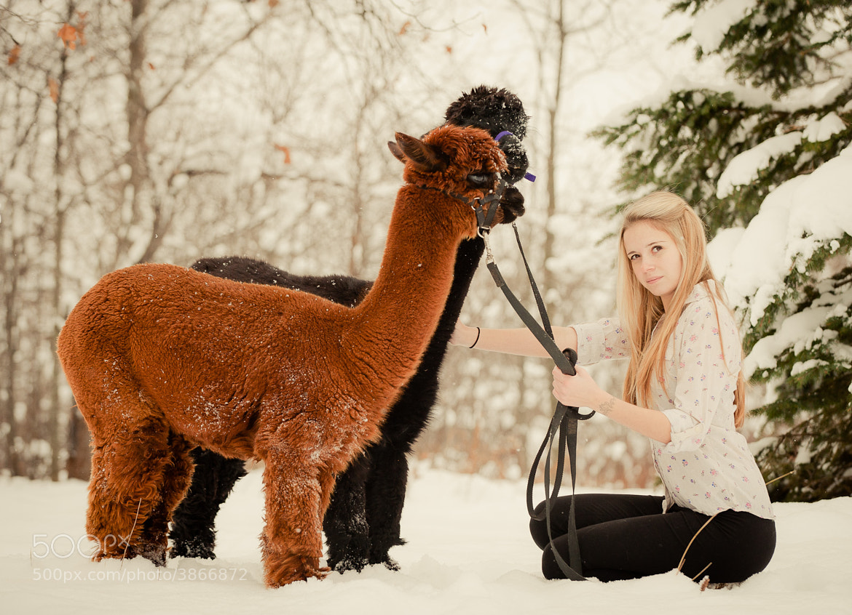 Photograph alpacas by brockit on 500px