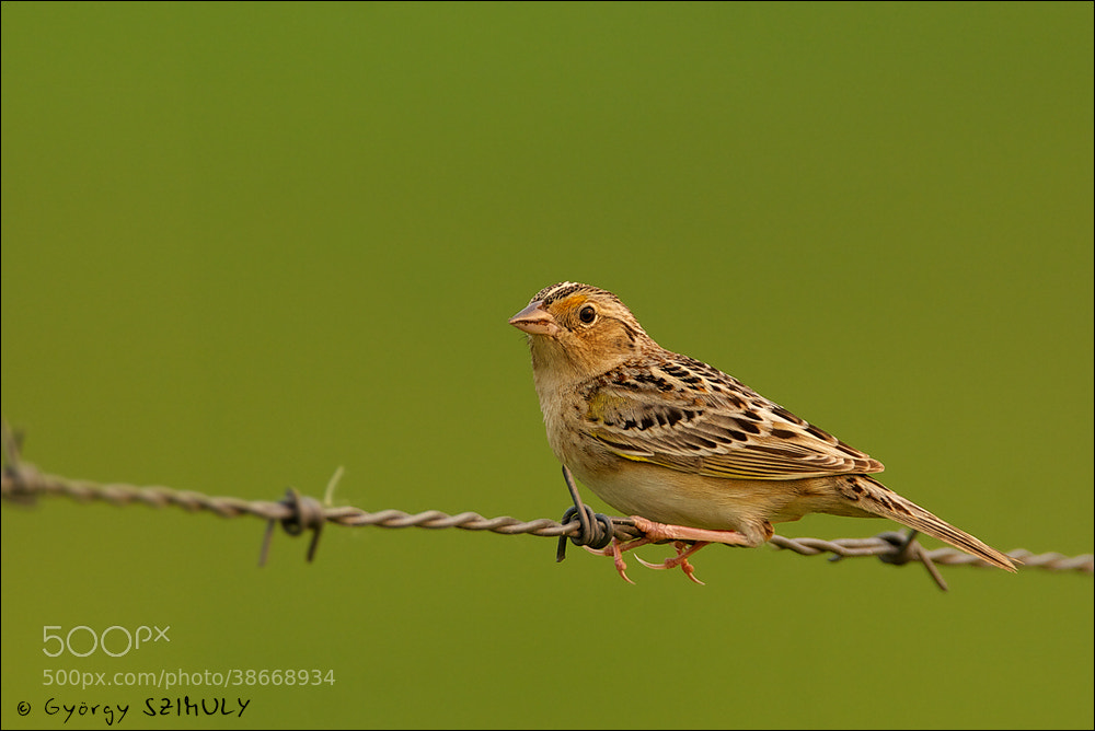 Photograph Grasshopper Sparrow (Ammodramus savannarum) by Gyorgy Szimuly on 500px