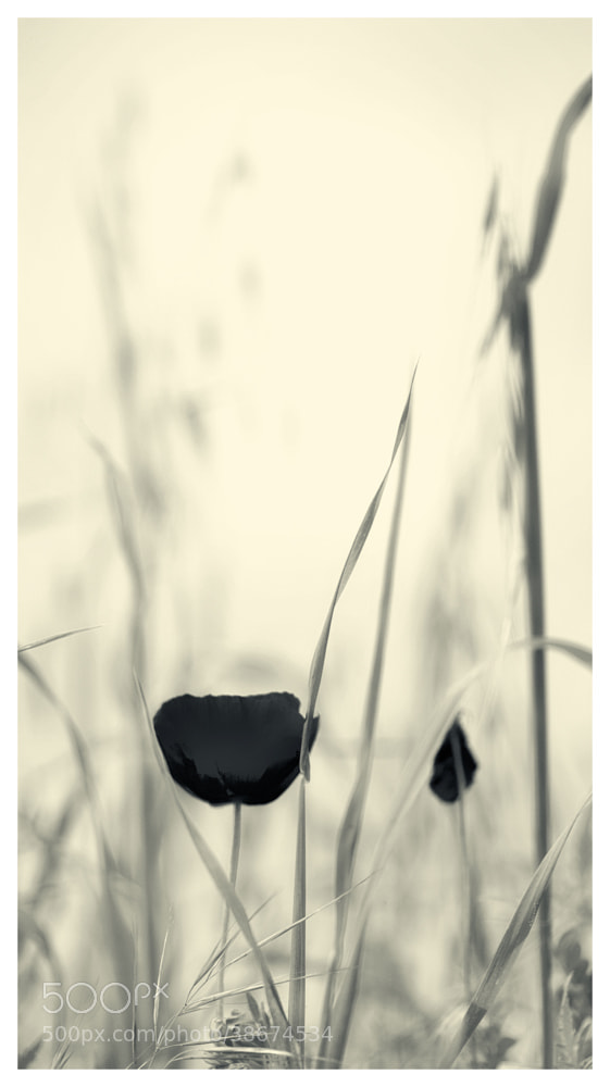 Photograph Black Poppy by Paolo Costantino on 500px