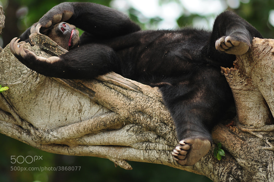 This is Kala, she is a malayan sun bear that loves to sleep on top of this tree. Malayan sun bears spend more time on tree tops than on the ground and are expert climbers. Their long nails help of course.