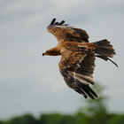 A Tawny Eagle in flight during a falconry show.
