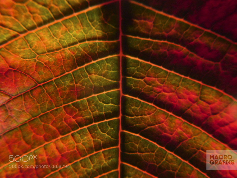 Photograph Poinsettia leaves by Macrografiks Stock Photos on 500px