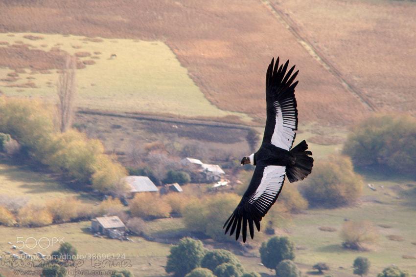 Photograph Andean Condor by Maximiliano Brina on 500px