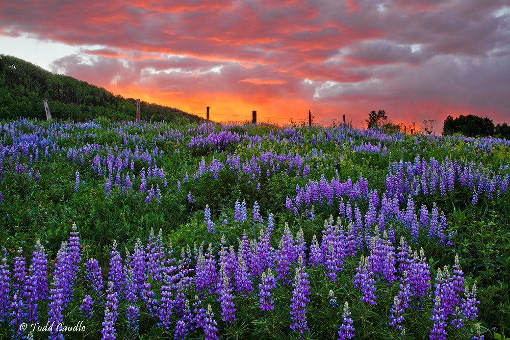 Photograph Lupine Sunset by Todd Caudle on 500px
