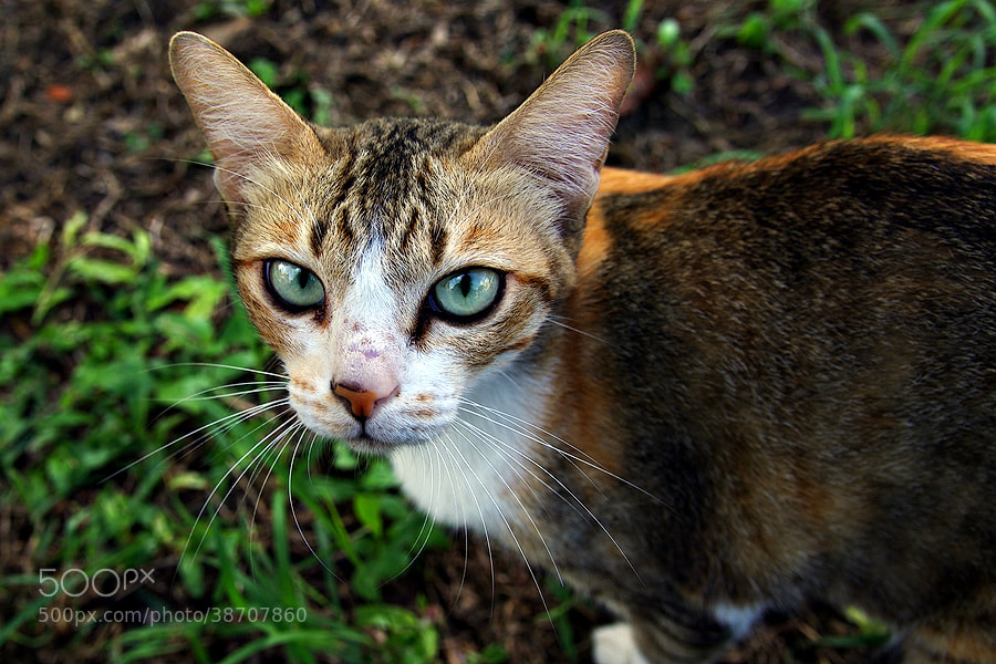 Photograph Thai cat by NaBig Peterx on 500px