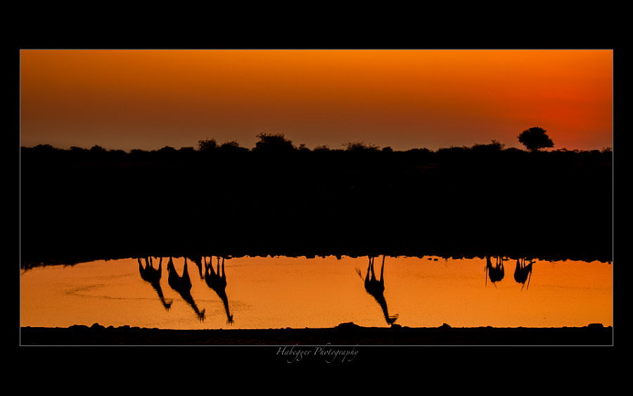 Silhouettes of some giraffes and prix @ Okaukuejo waterhole, Etosha NP, Namibia