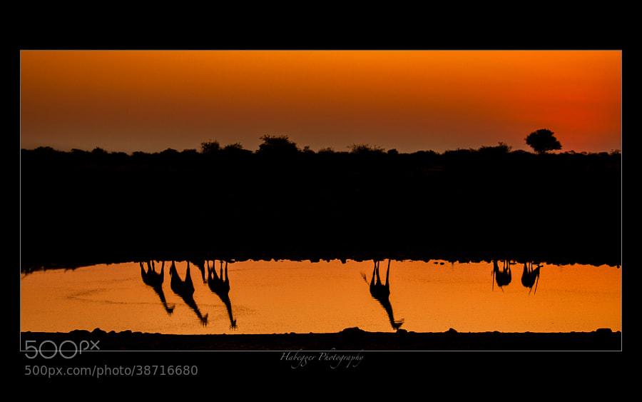Silhouettes of some giraffes and prix @ Okaukuejo waterhole, Etosha NP, Namibia