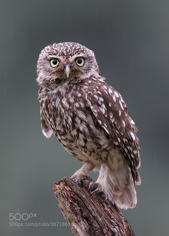 Photograph Little Owl by Karen Summers on 500px