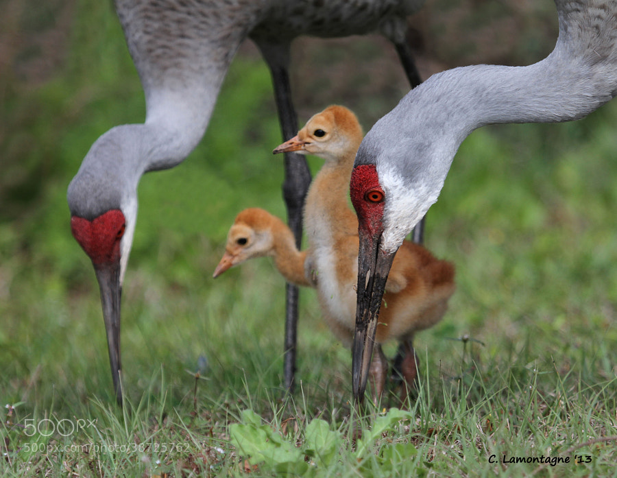 Sandhill Crane family at a marsh near where I stay in Florida. Sandhill Cranes are very devoted to each other and their young. They are my favorite shore bird. I watched this family for quite a while and they didn't mind at all.