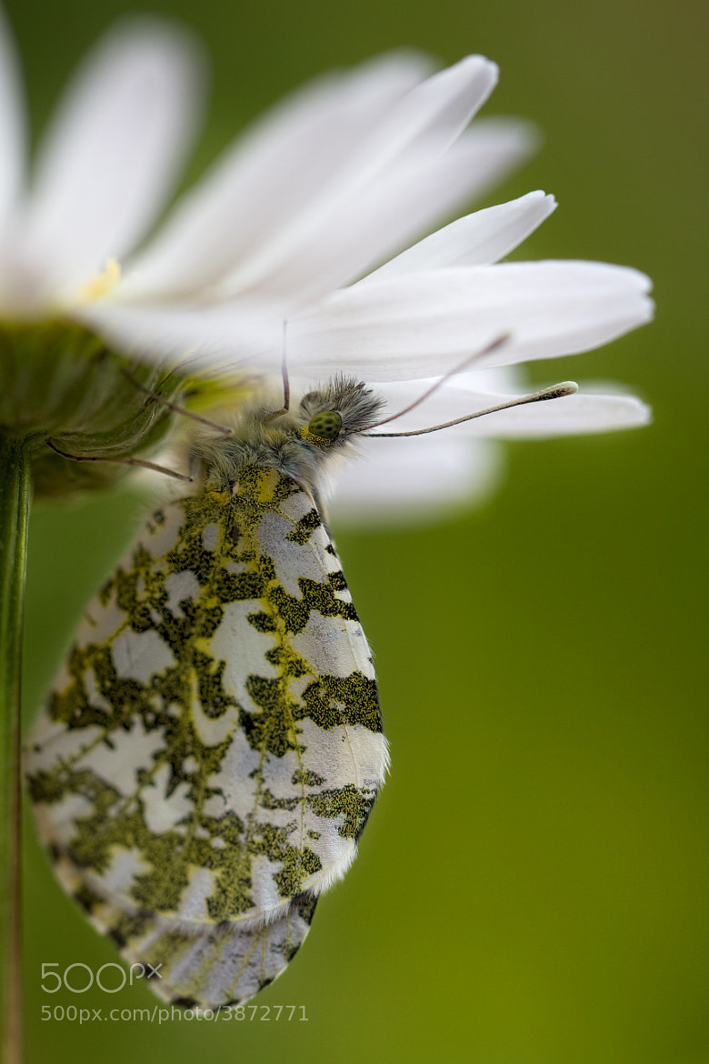 Photograph Female Orange tip by Mandy Disher on 500px