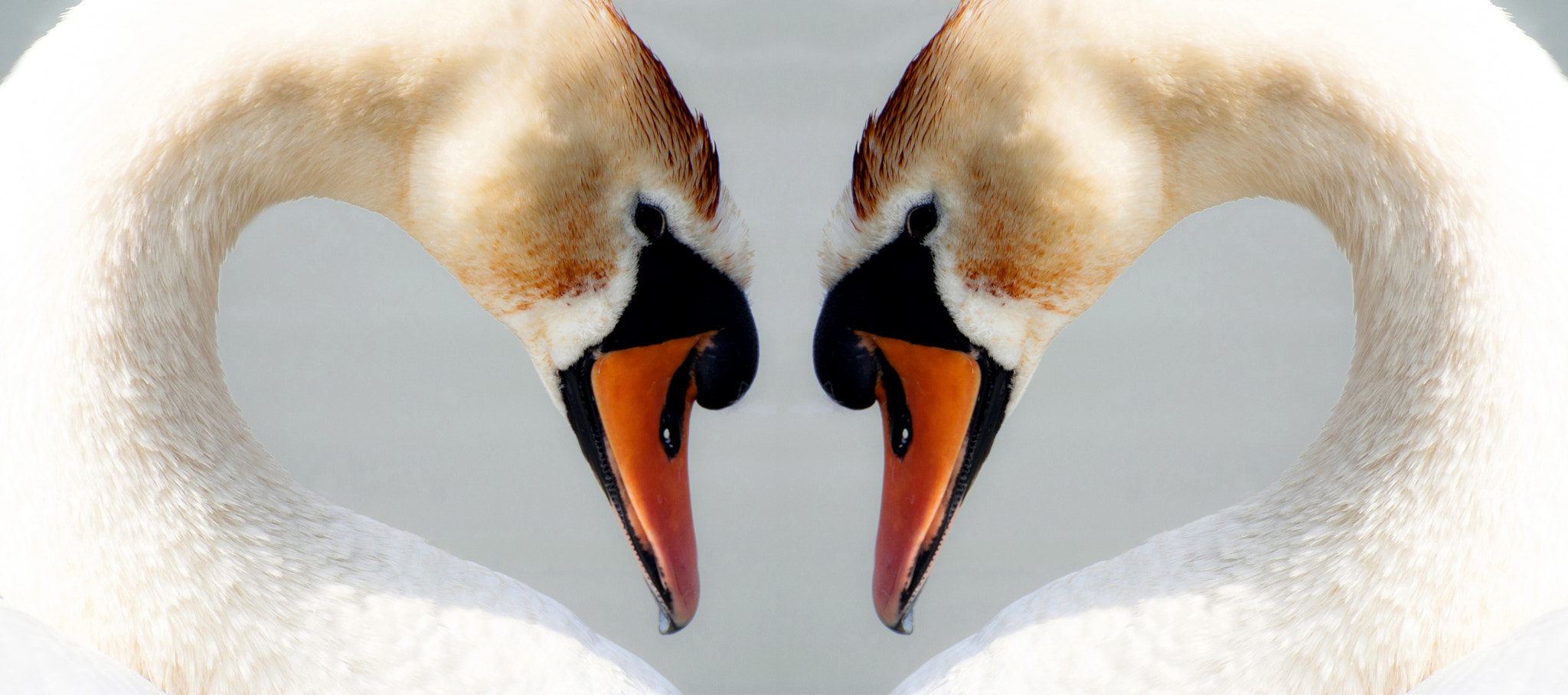 Photograph swan heart by Peter Orlický on 500px