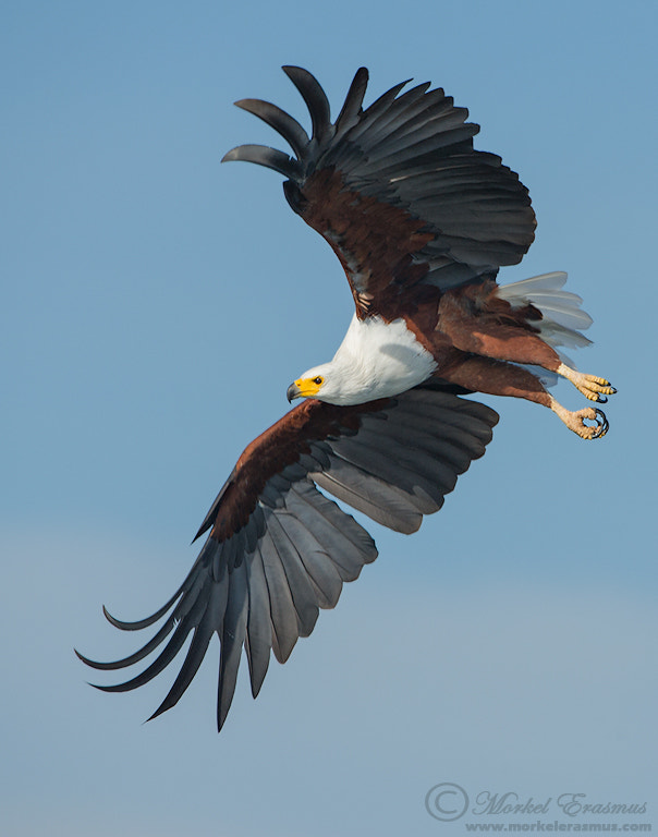 Photograph Flight of the Fish Eagle by Morkel Erasmus on 500px