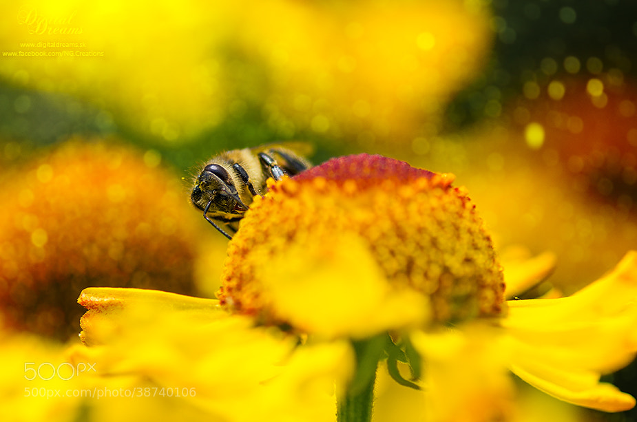 Photograph Bee by Norbert G on 500px