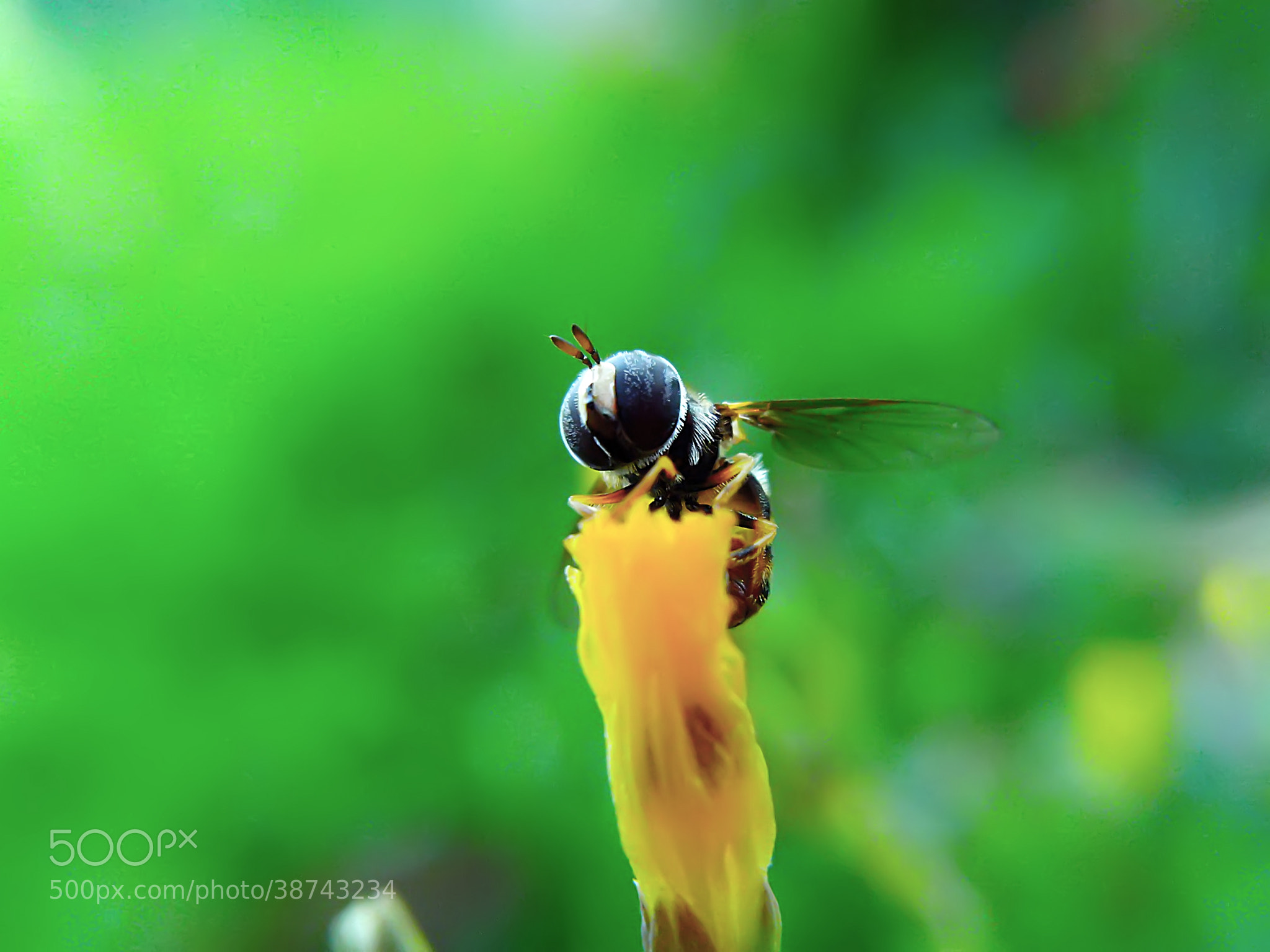 Photograph hoverfly 02 by Hendrata Yoga Surya  on 500px