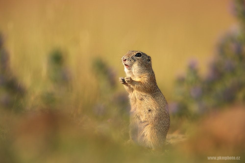 Photograph Ground Squirrel II. by Peter Krejzl on 500px