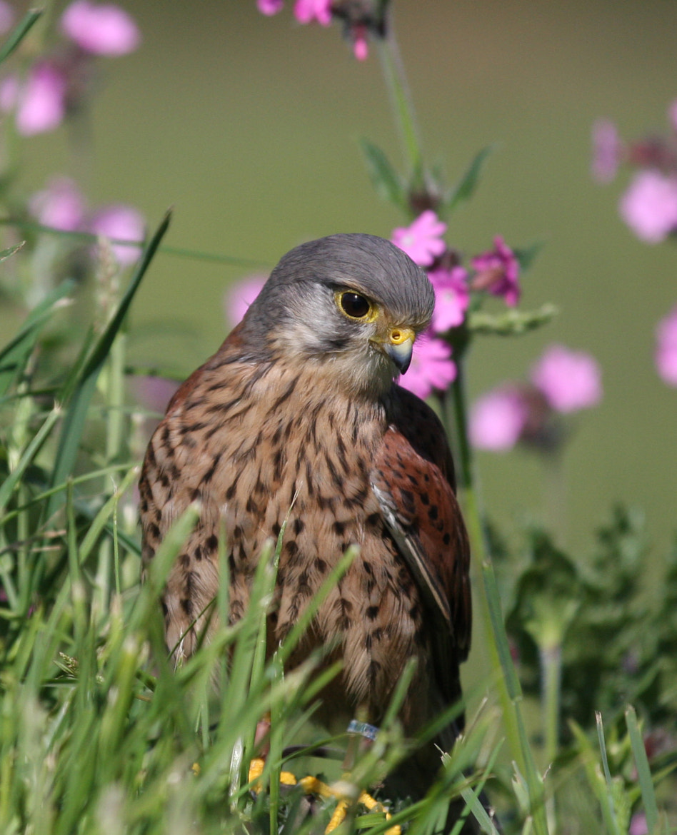 Photograph Kestrel by Pete Williams on 500px