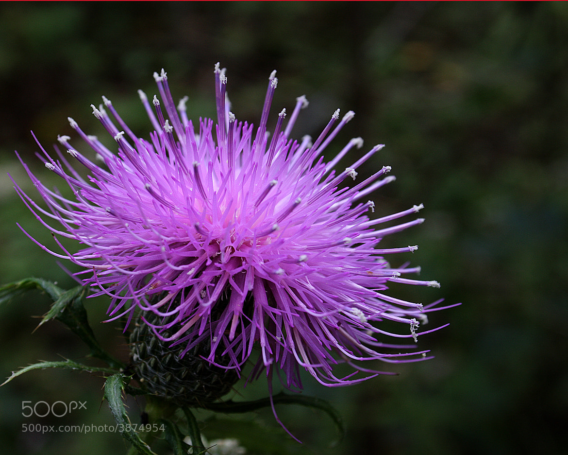 Photograph Thistle by Rusty Wood on 500px