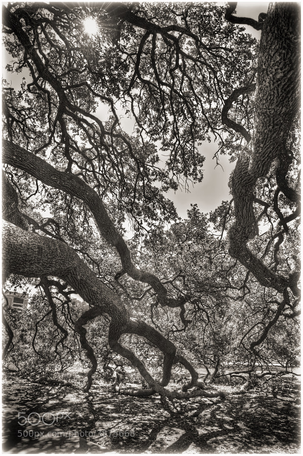 The Century Oak, located in the heart of Texas A&M Univeristy campus, is a place that holds a special place in the heart of many Aggies. Well over 100 years old, the tree, a live oak, was one of the first trees planted on the massive 5,200-acre campus.  You can purchase this photo here http://fineartamerica.com/featured/the-century-oak-2-scott-norris.html.