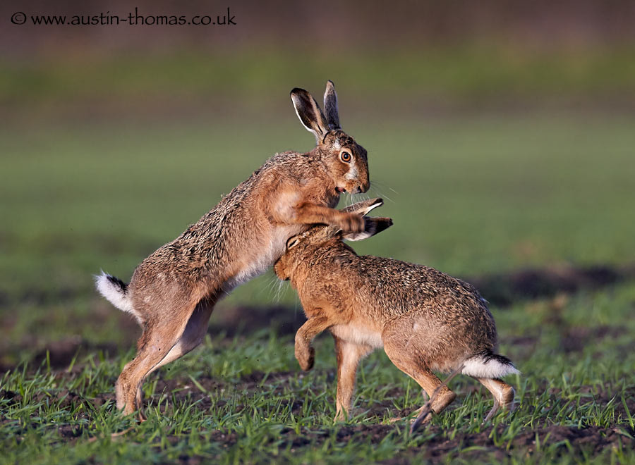 Boxing hares...