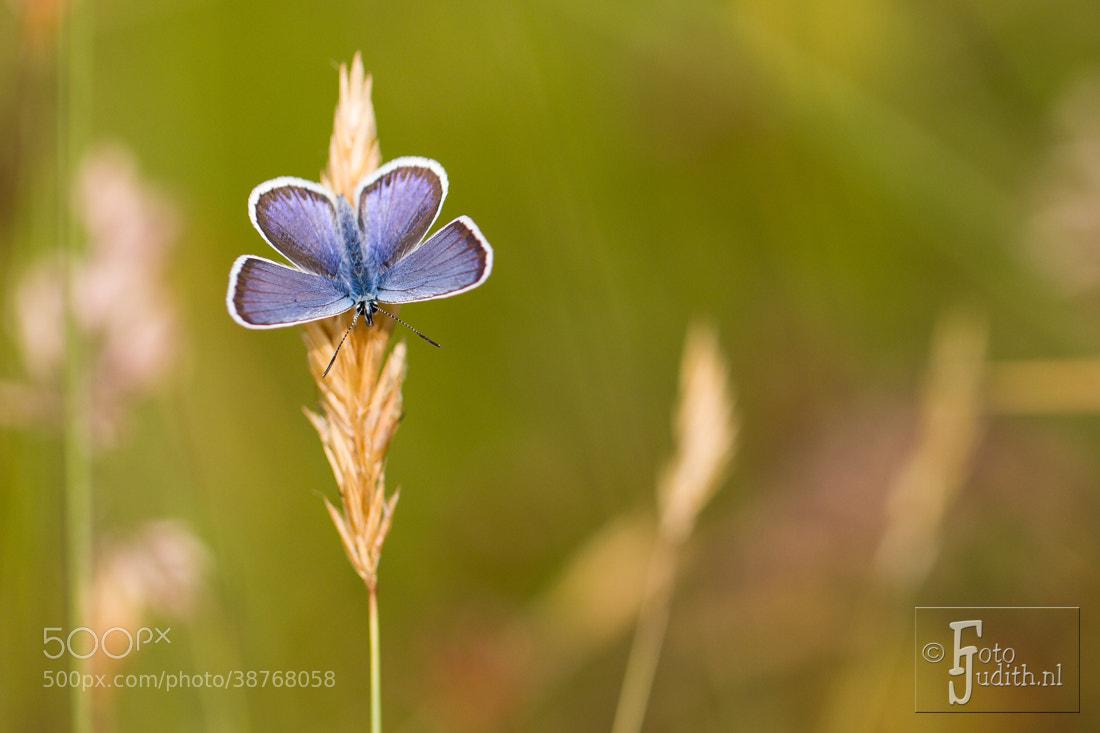 Photograph Silver-studded Blue  by Judith Borremans on 500px