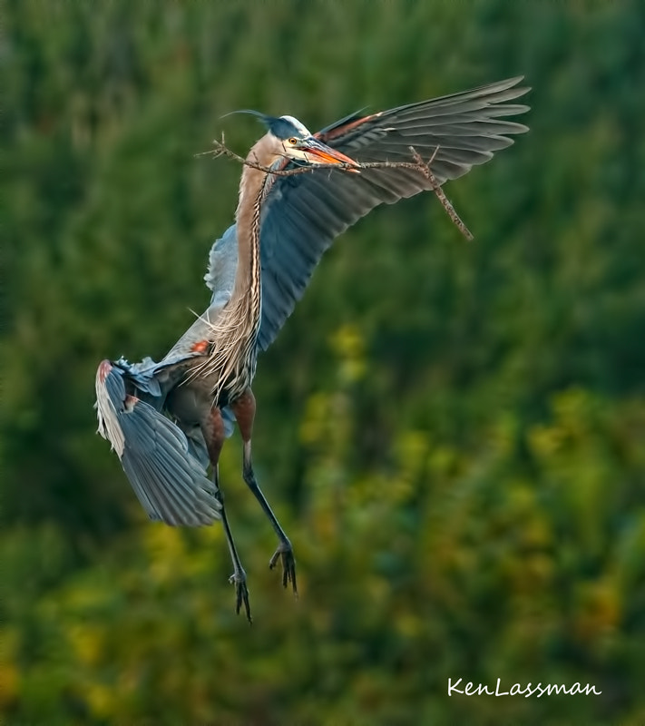 Hope I don't bore everyone but I can't stop shooting the Great Blue Herons during nesting season.  They are incredible and tireless as they build up their nesting areas.   Next will be the birth of the chicks