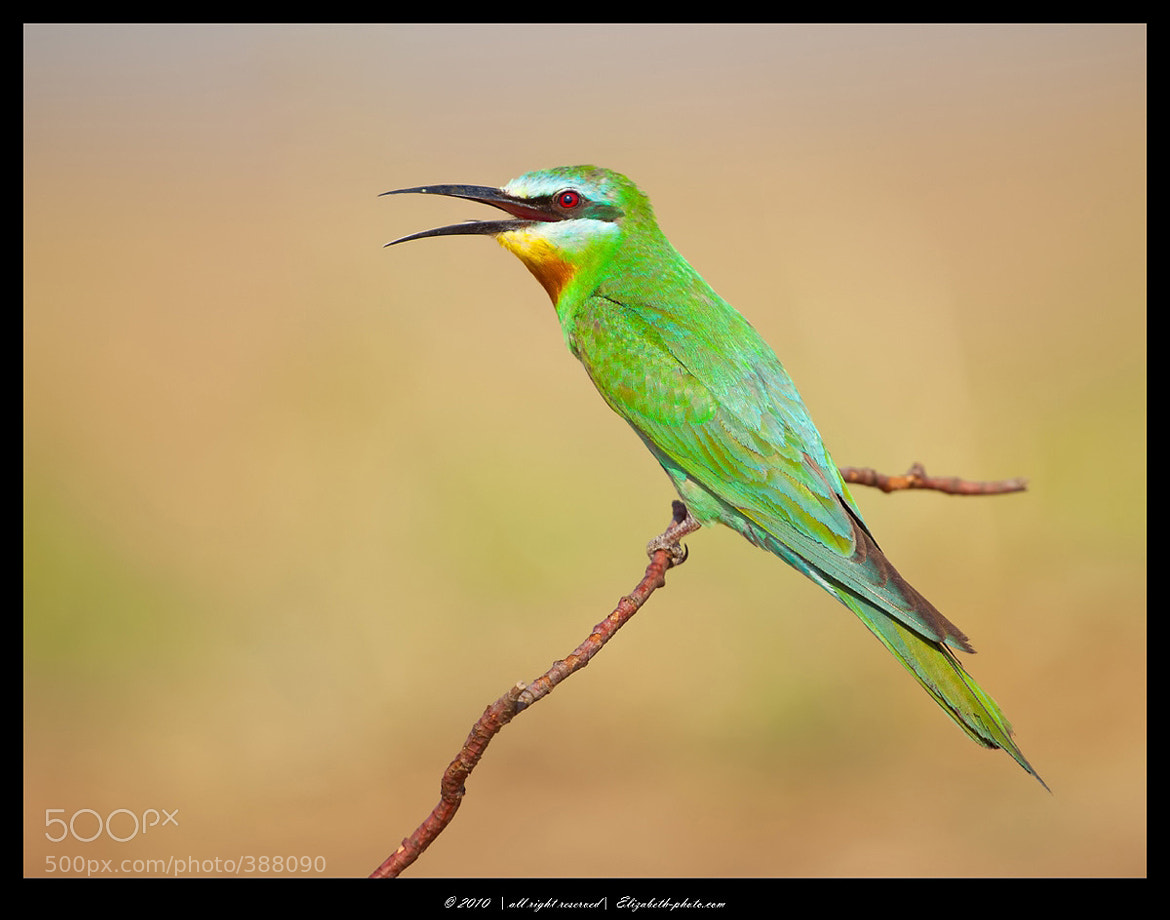 Photograph Blue-cheeked Bee-eater by Elizabeth.  E. on 500px
