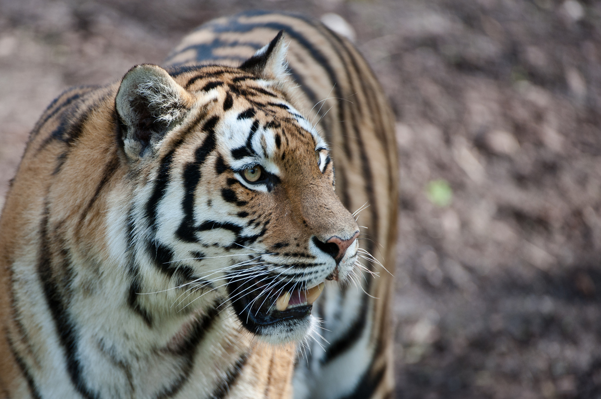 Photograph Tiger  by Peter Hausner Hansen on 500px