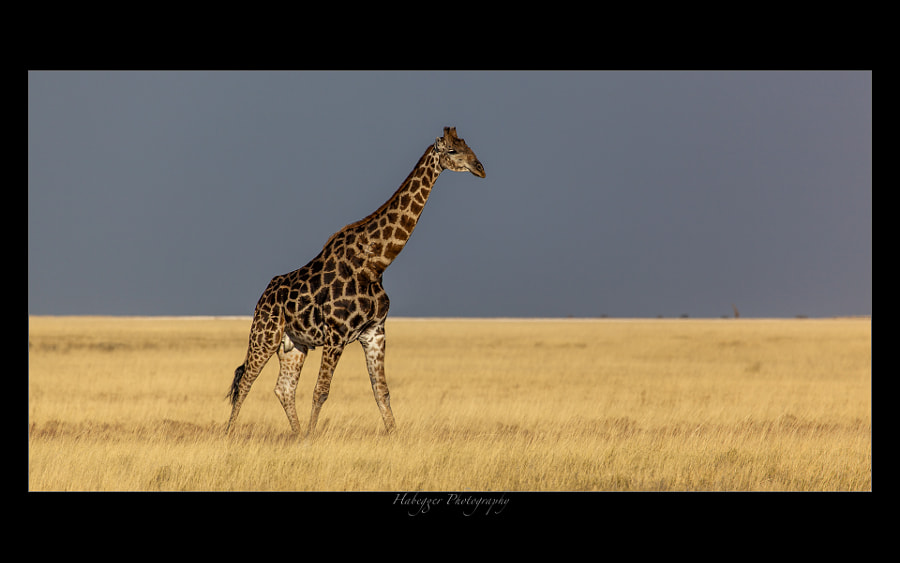 male giraffe in the open grassland of the etosha national park