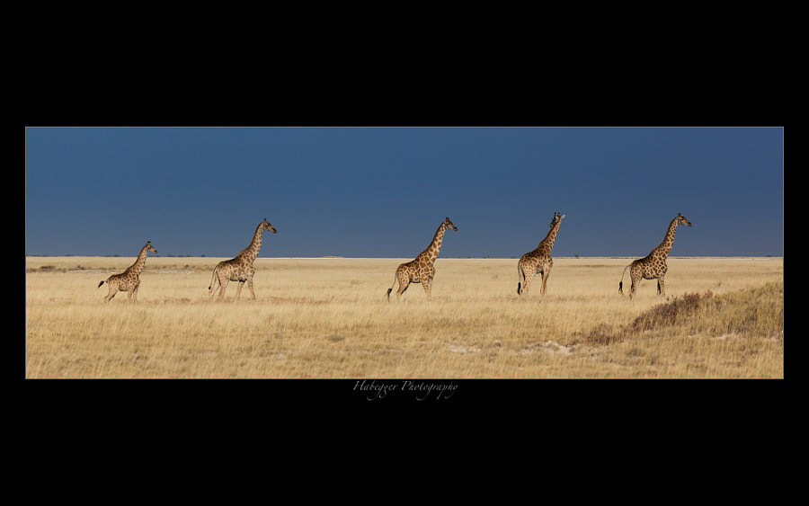 a group of giraffes, nicely lined up in the open grassland of the etosha national park