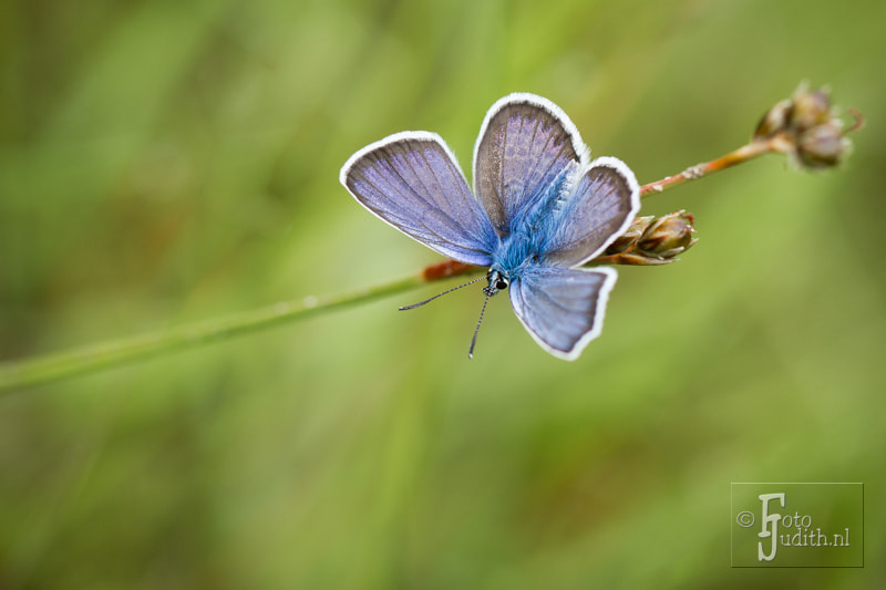 Photograph Silver-studded Blue by Judith Borremans on 500px