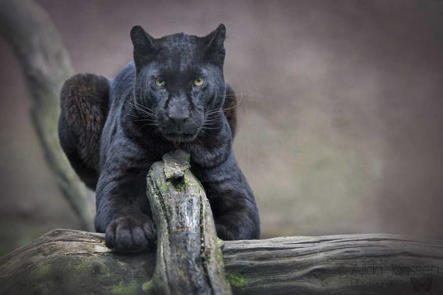 Black Panther by Alida Jorissen on 500px