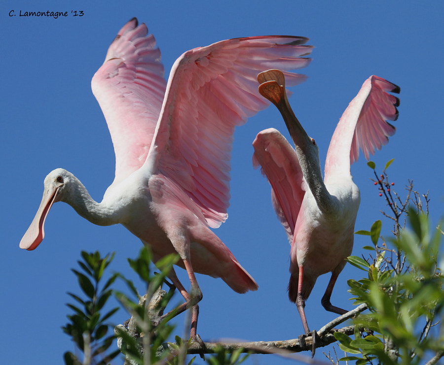 Two Juvenile Roseate Spoonbills bickering over territory. Don't you hate it when the kids don't get along ;)