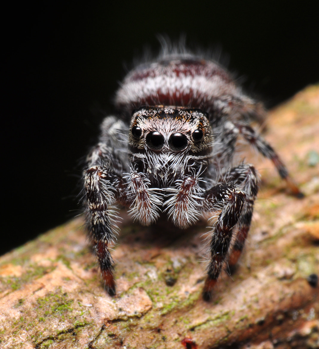 Photograph Young Phidippus by Enkased  on 500px