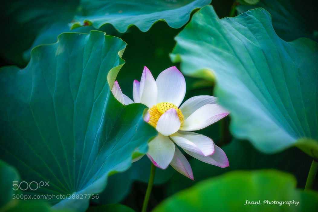 Photograph Lotus by Jean Li on 500px