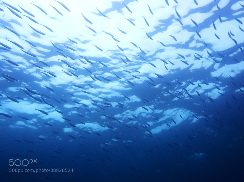 Photograph Flying of sardines. by Hiroomi Mori on 500px